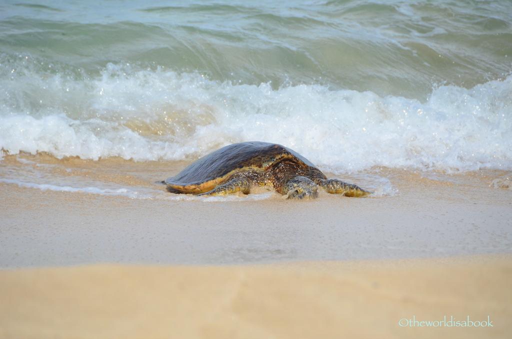 Hawaiian green sea turtle small