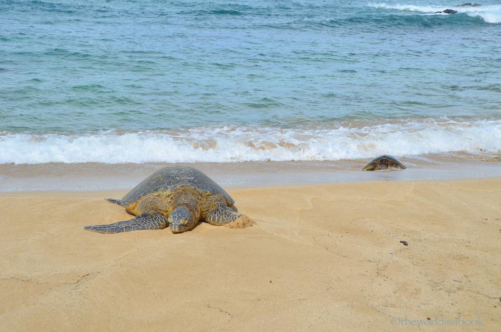 Hawaiian green sea turtles pair