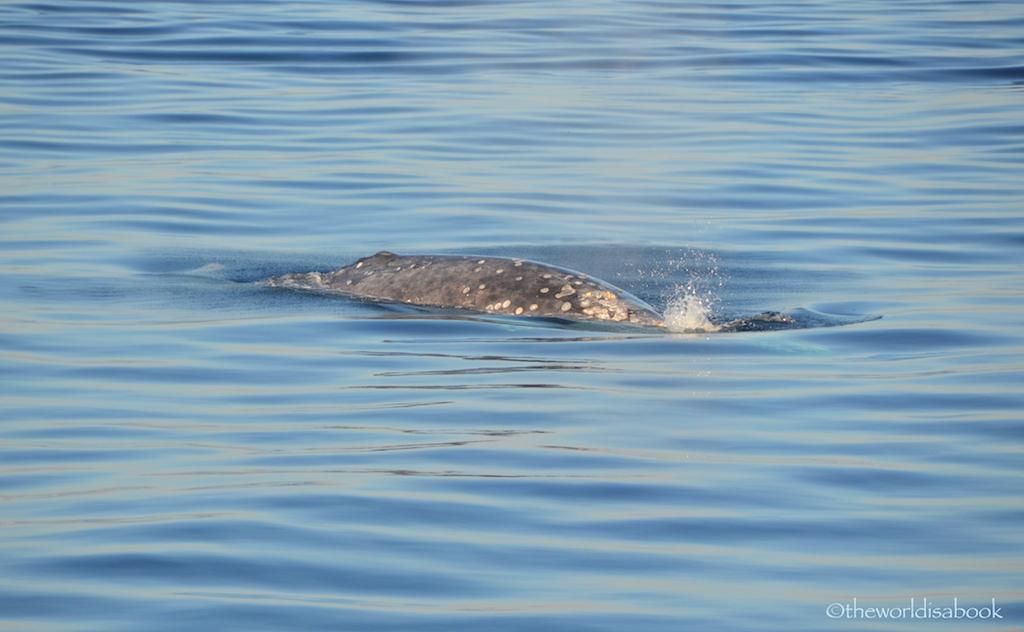 Gray Whale San Diego