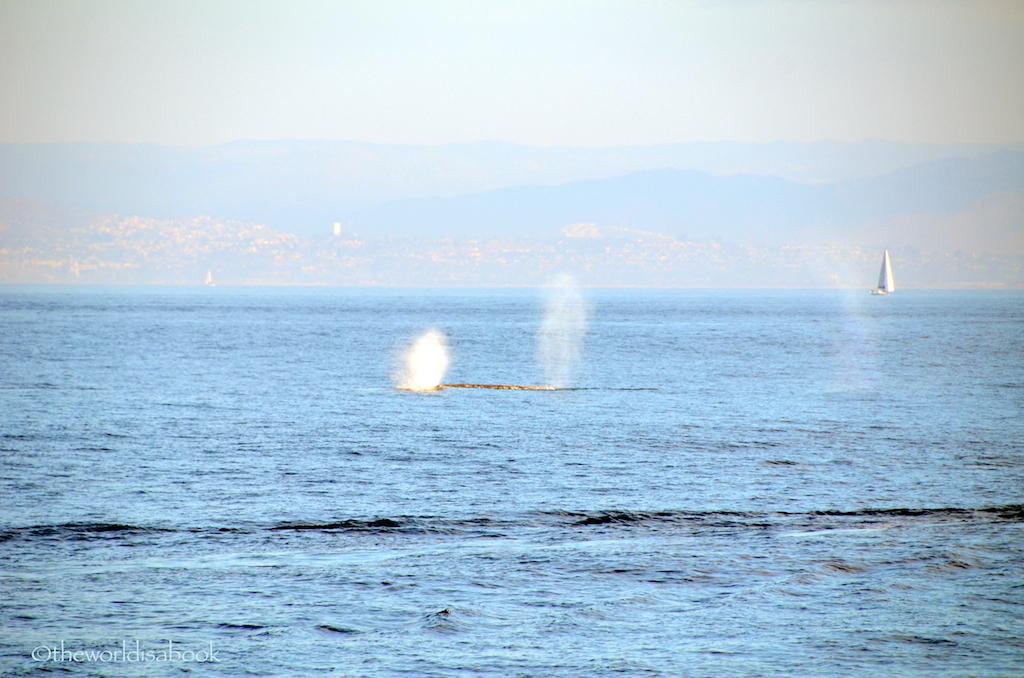 Gray whales spout