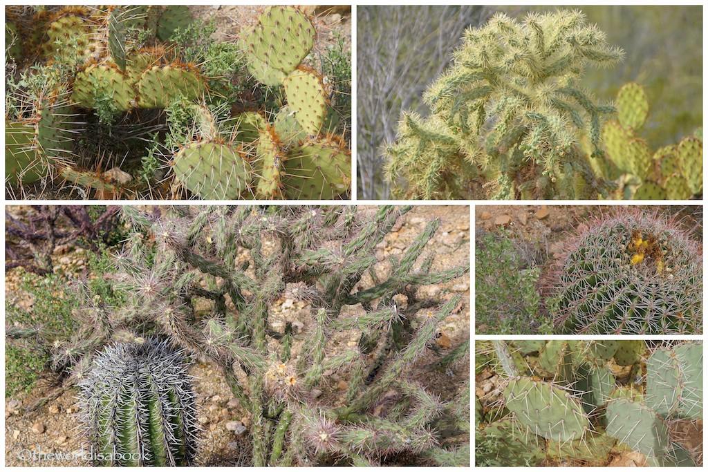 Saguaro cacti variety
