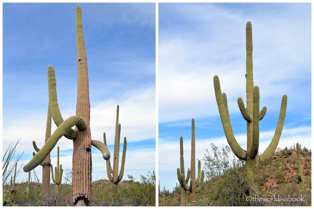 Saguaro cactus branches