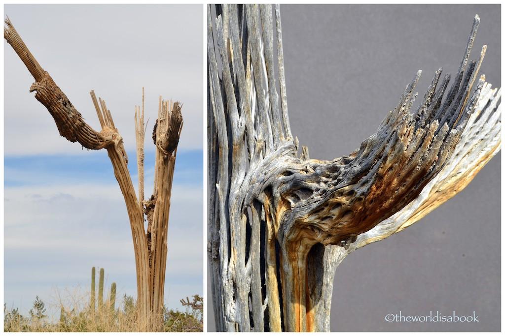 Saguaro dead branch