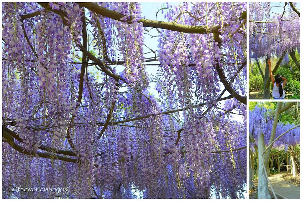 Huntington Gardens wisteria