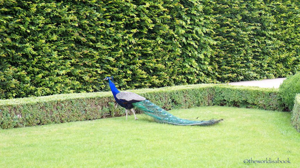 Superior Wallenstein Peacock