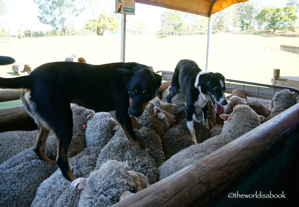 Australia sheep dog Lone Pine
