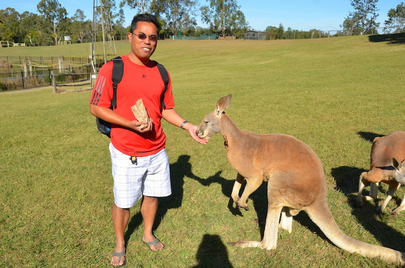 Kangaroo feeding Lone Pine