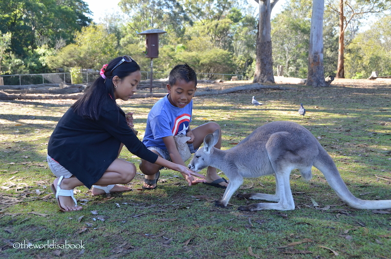 Lone Pine Kangaroo feeding