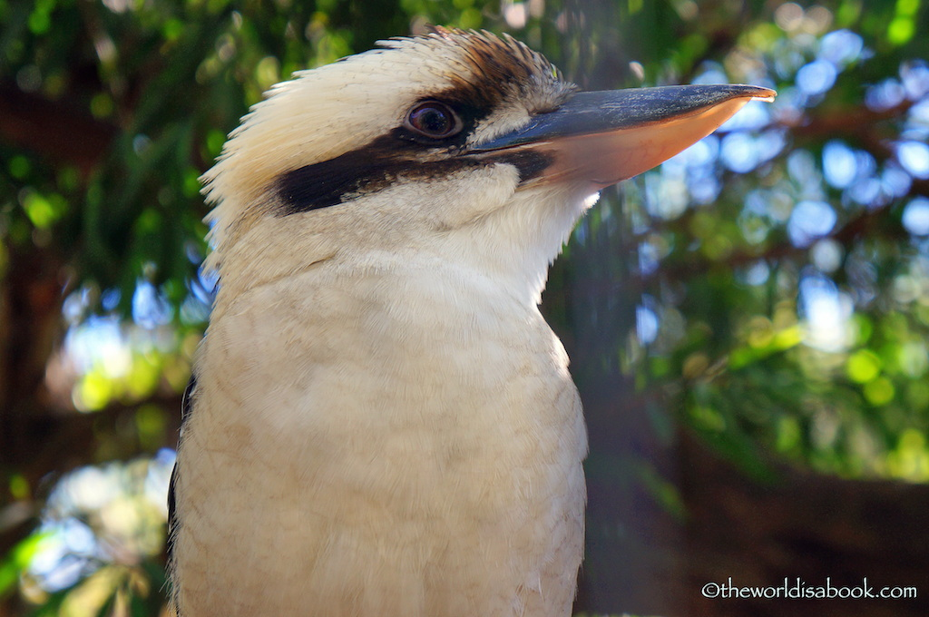 Kookaburra Lone Pine