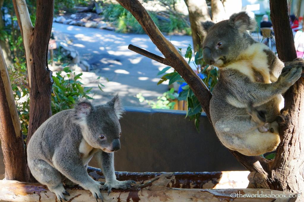 Lone Pine Koala Sanctuary koalas