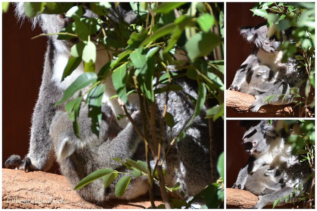 Lone Pine Koala joeys
