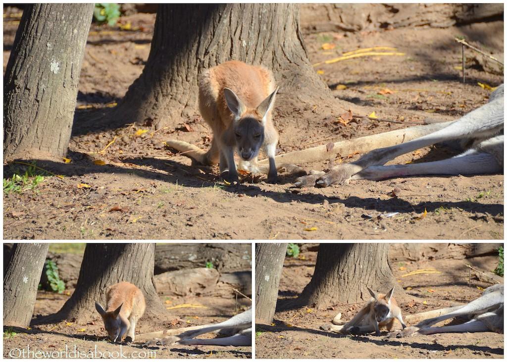 Lone Pine kangaroo joey