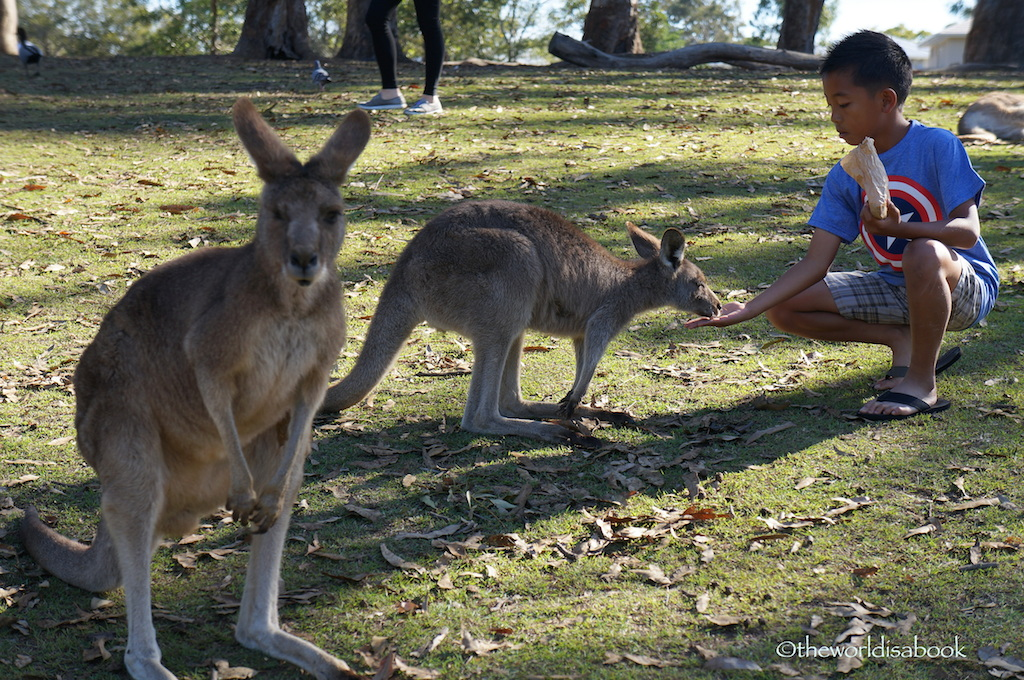Lone Pine koala sanctuary kangaroos