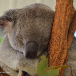 Koala Cuddling and Kangaroo Feeding at Lone Pine Koala Sanctuary
