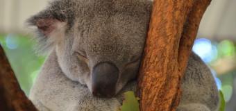 Koala Cuddling and Kangaroo Feeding at Lone Pine Koala Sanctuary