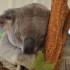Lone Pine koala sleeping