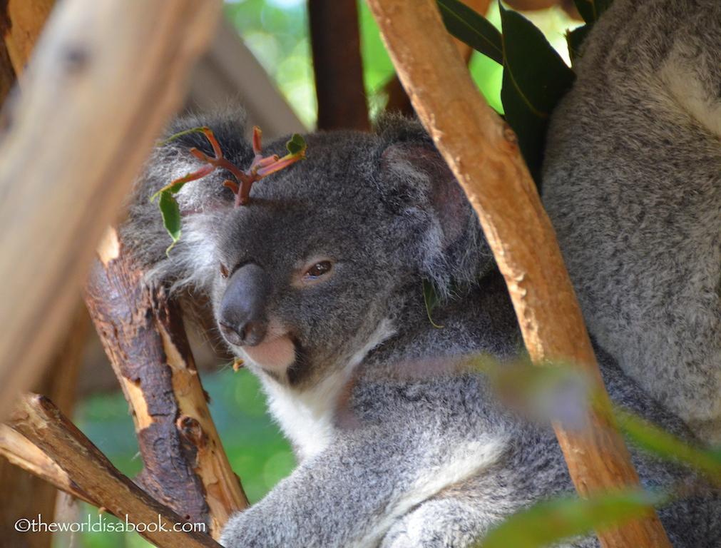 Lone Pine koalas