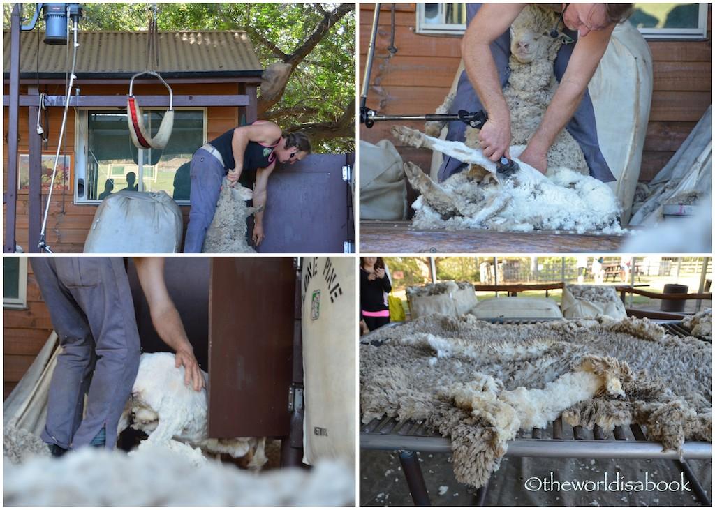 Lone Pine sheep shearing demonstration
