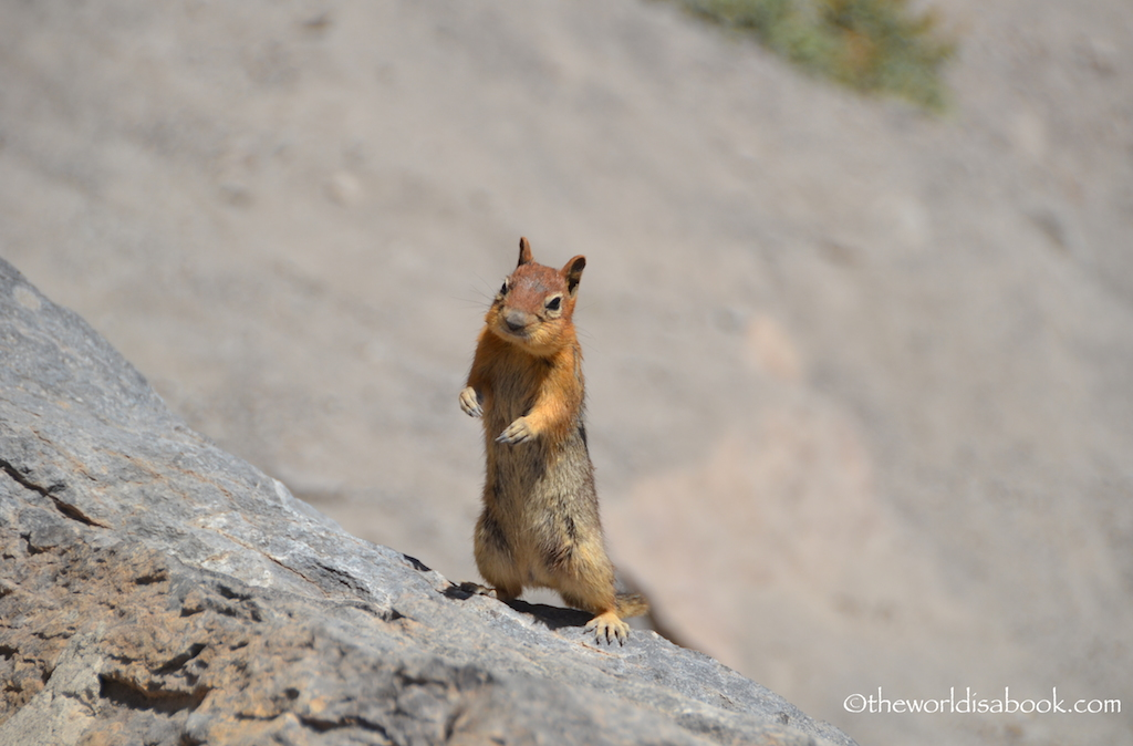 Crater Lake ground squirrel