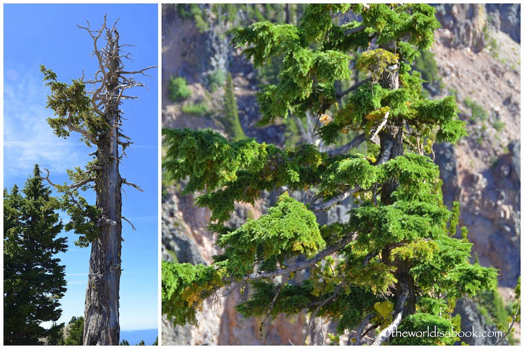 Crater Lake whitebark pine
