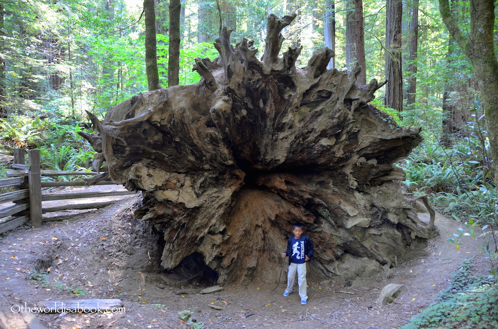 redwood tree root