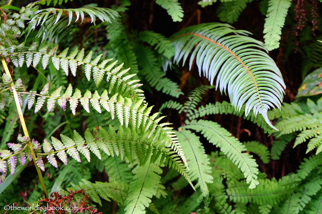 Fern Canyon ferns