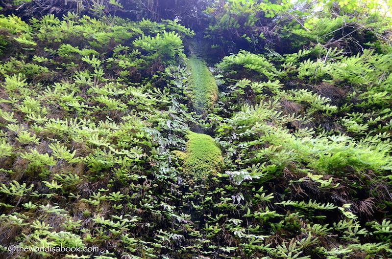 Fern Canyon moss
