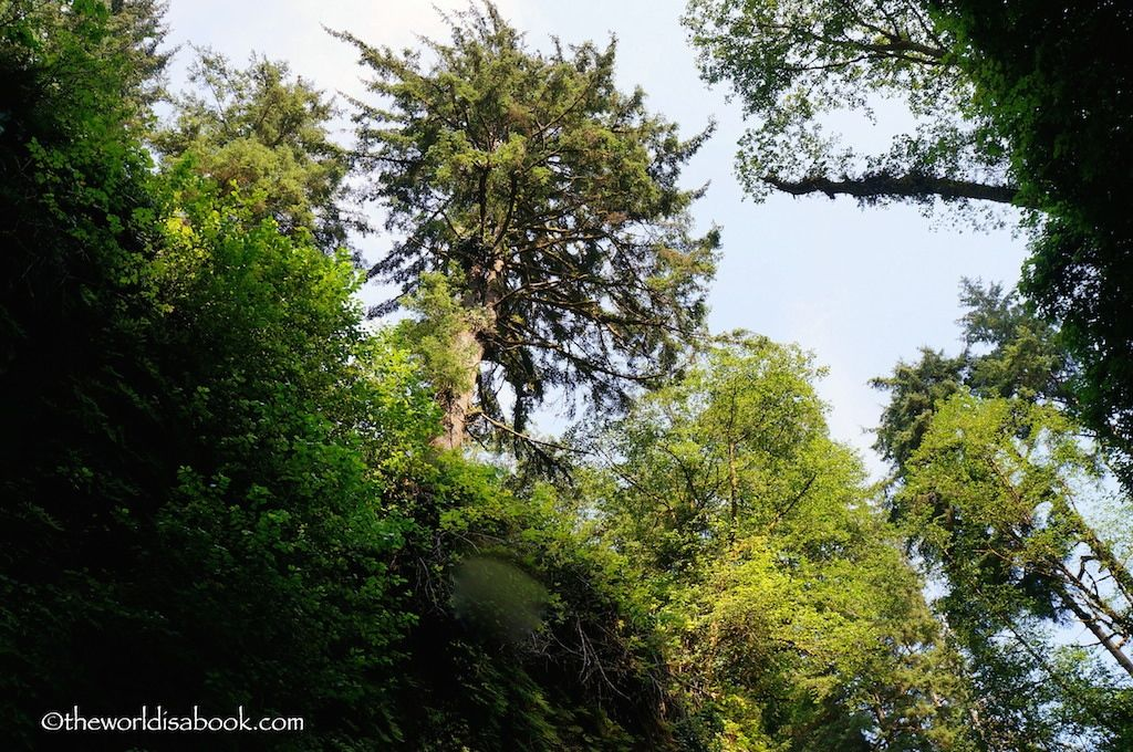 Fern Canyon towering trees