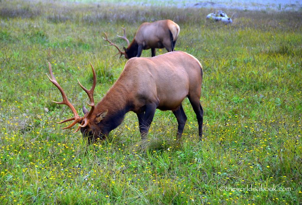 Prairie Creek State Park bull elk