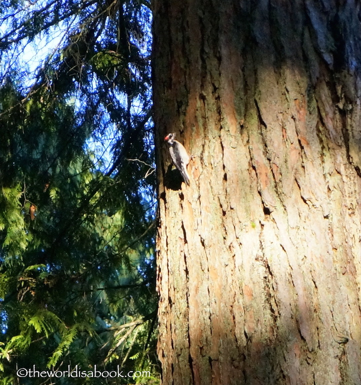 Capilano Bridge woodpecker