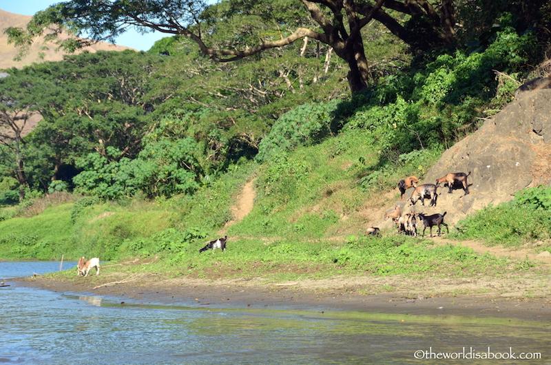 Fiji river goats