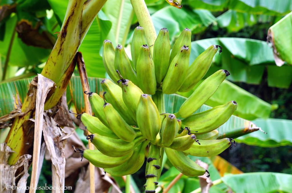 Guam Banana