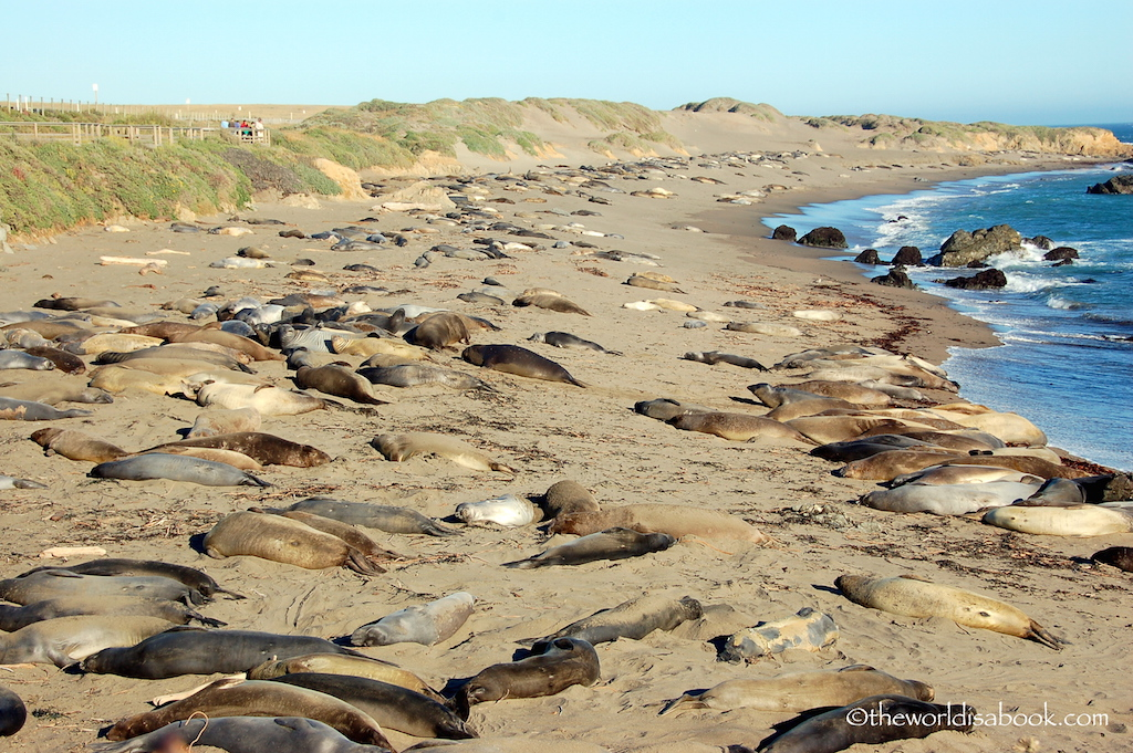 Elephant Seal colony San Simeon