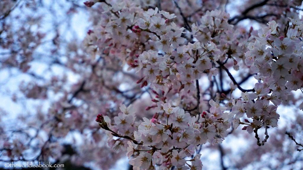 Cherry blossom Ueno Park tokyo