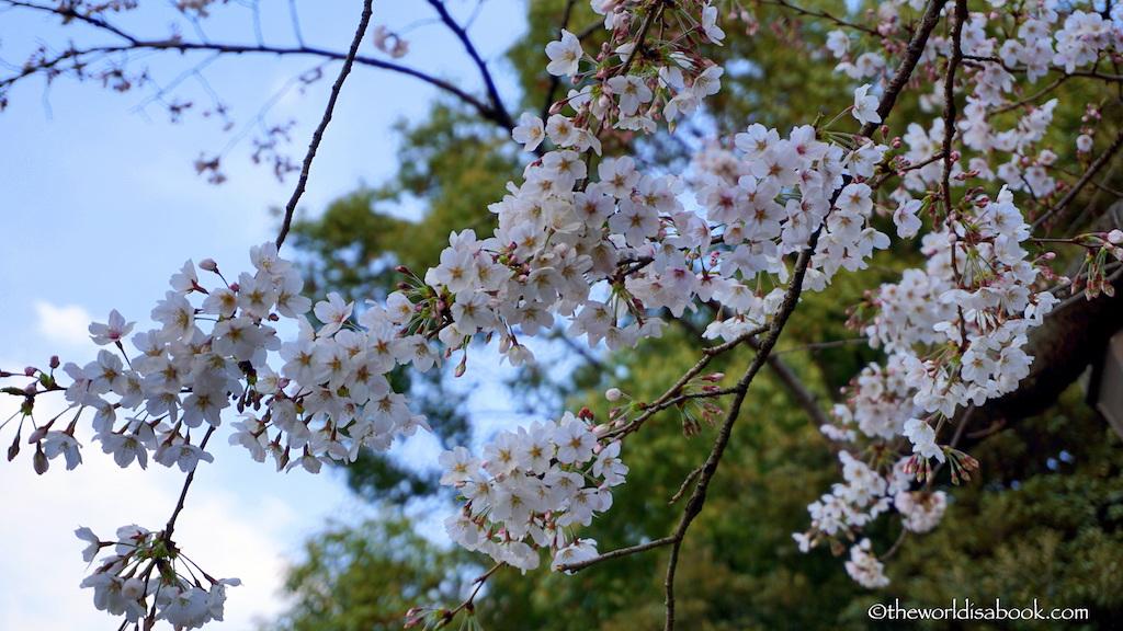 Sakura cherry blossom Tokyo