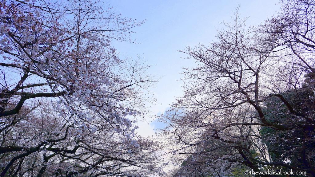 Ueno Park cherry blossom Sakura