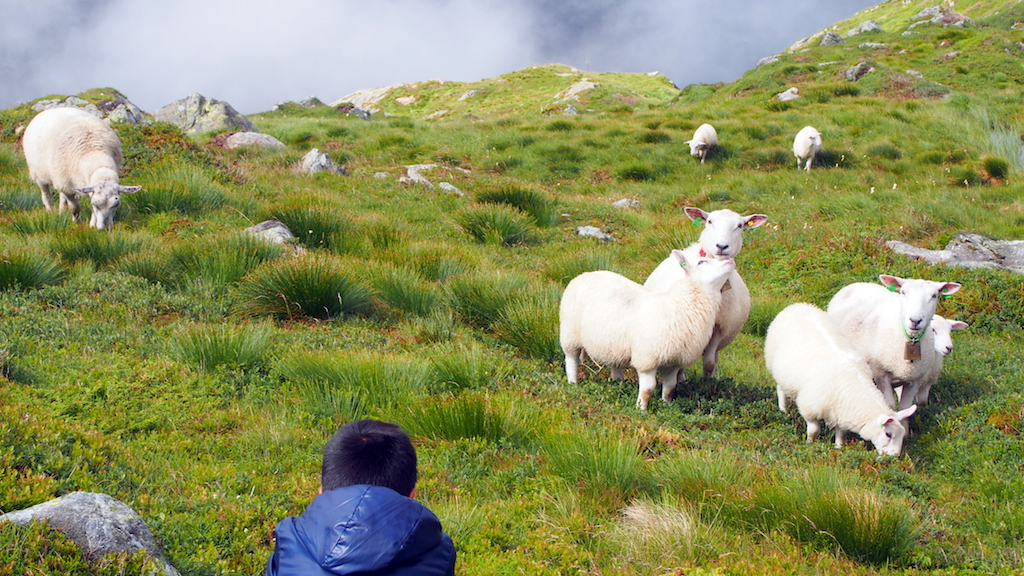Mount Ulriken sheep