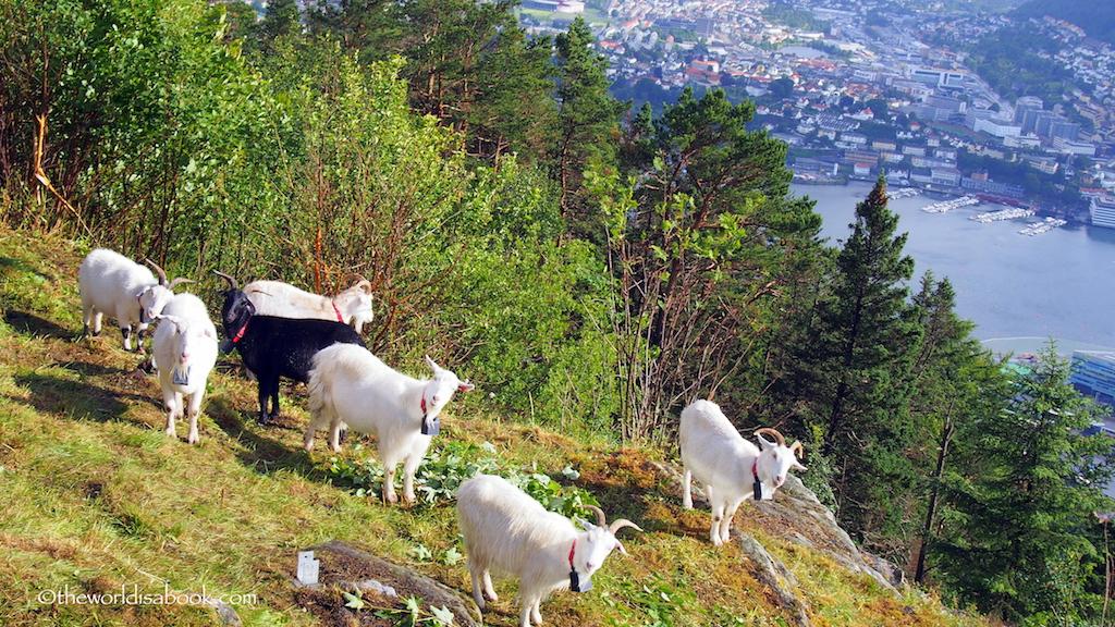 Mount Floyen goats