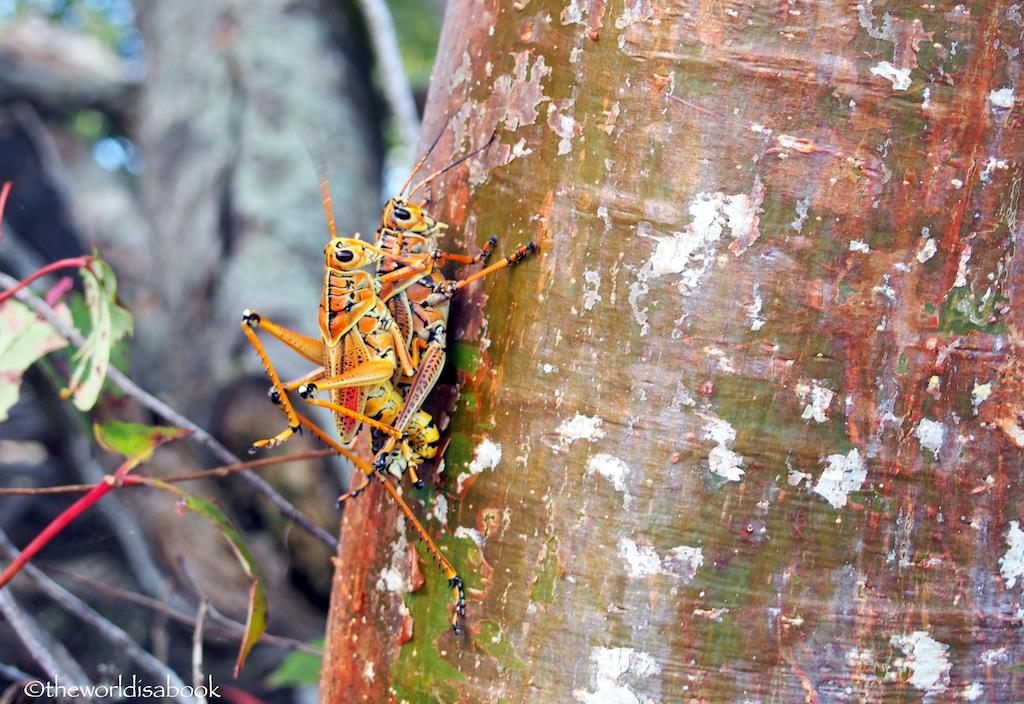 Everglades lubber grasshopper