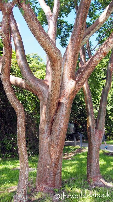 Everglades Gumbo limbo tree
