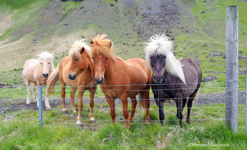 The Incredible Icelandic Horse | Travel Blog | Iceland Travel |Icelandic Horse Tours