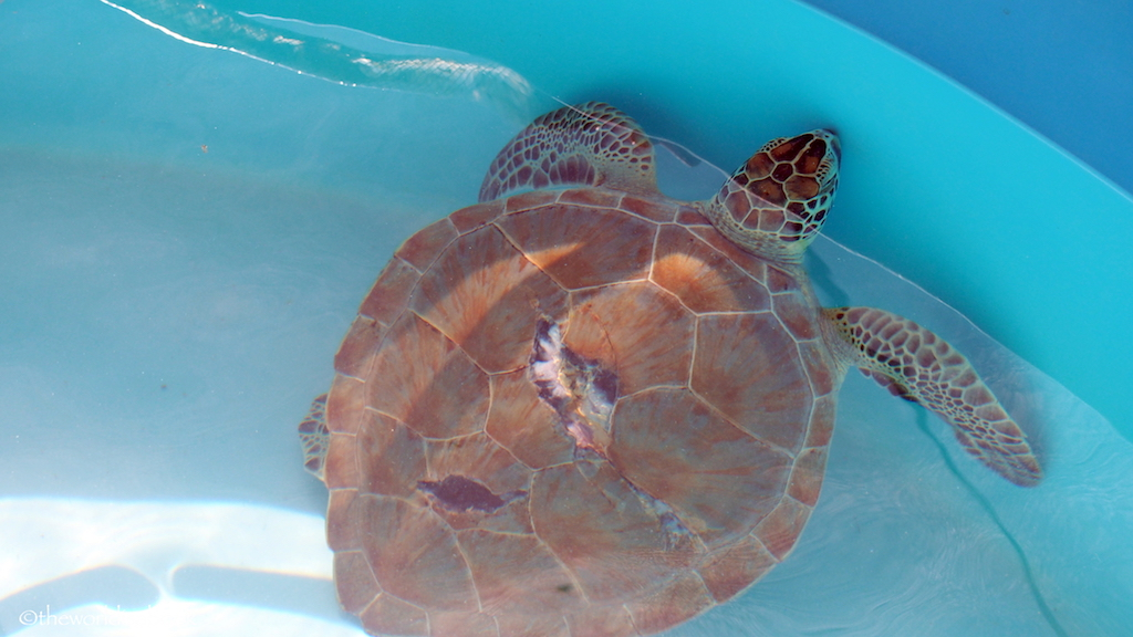 Injured sea turtle