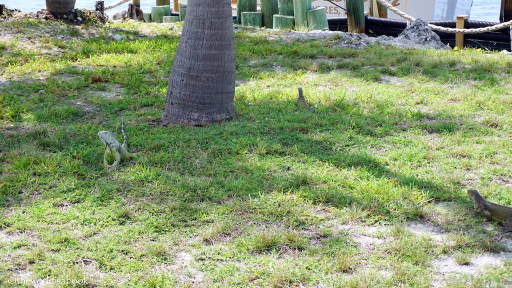 turtle hospital iguanas
