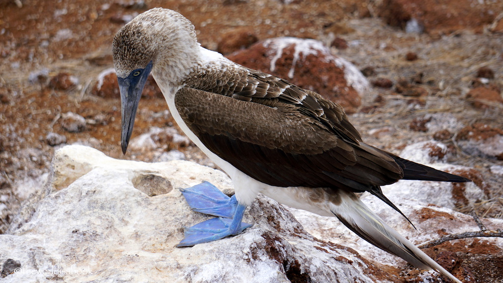 blue-footed-booby-galapagos