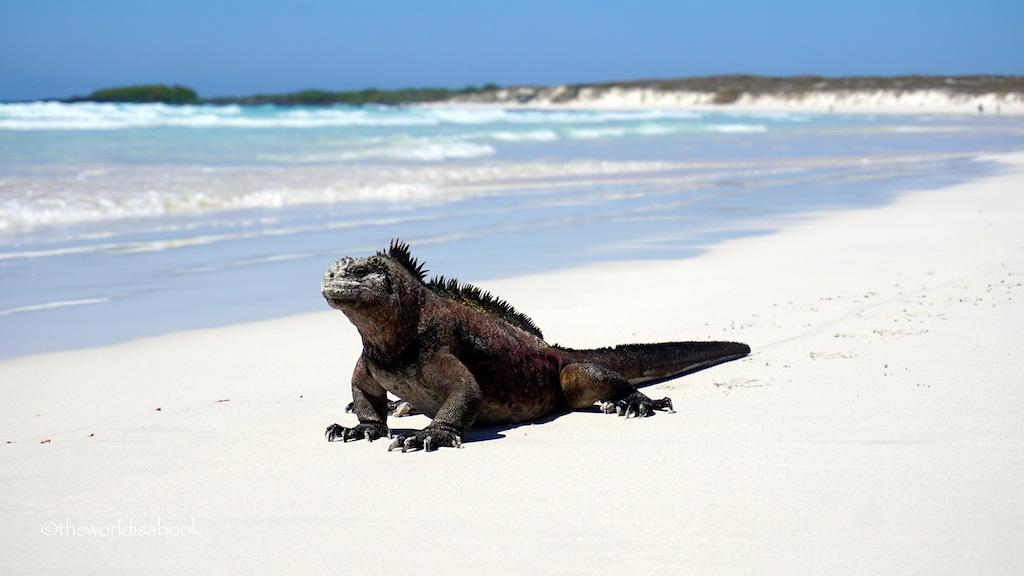 Marine iguanas tortuga Bay galapagos