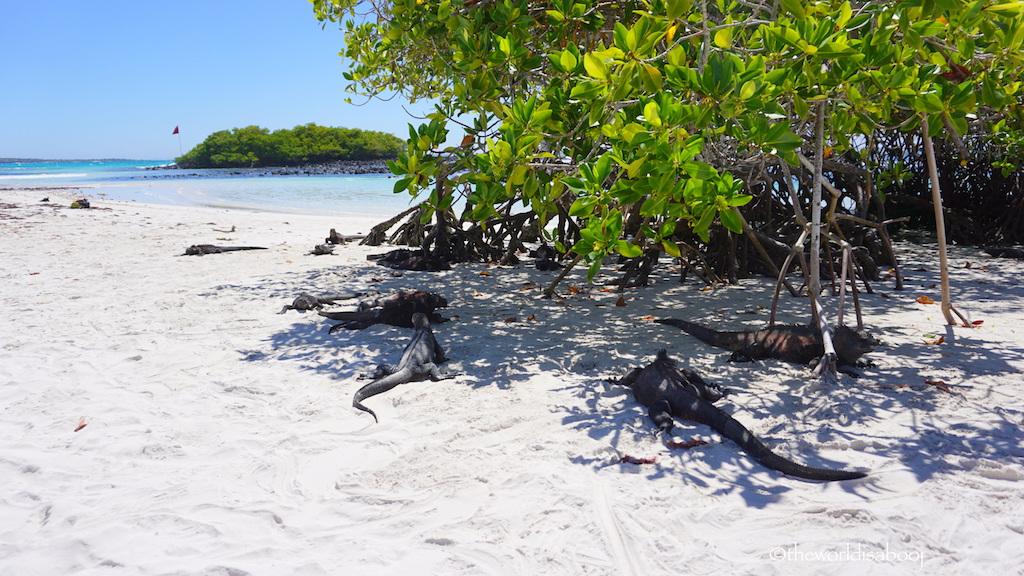 Galapagos Tortuga Bay marine iguanas