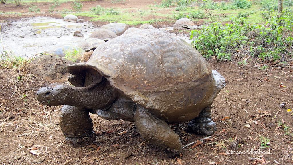 Galapagos giant tortoise Primicias