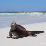 Hanging out with Marine Iguanas at Tortuga Bay Galapagos