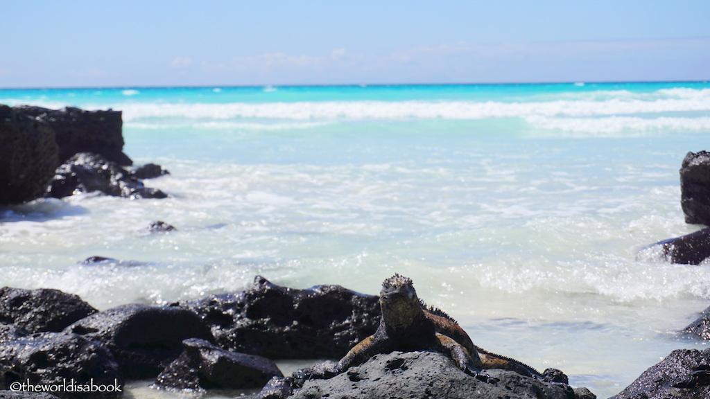 Marine Iguana Tortuga Bay
