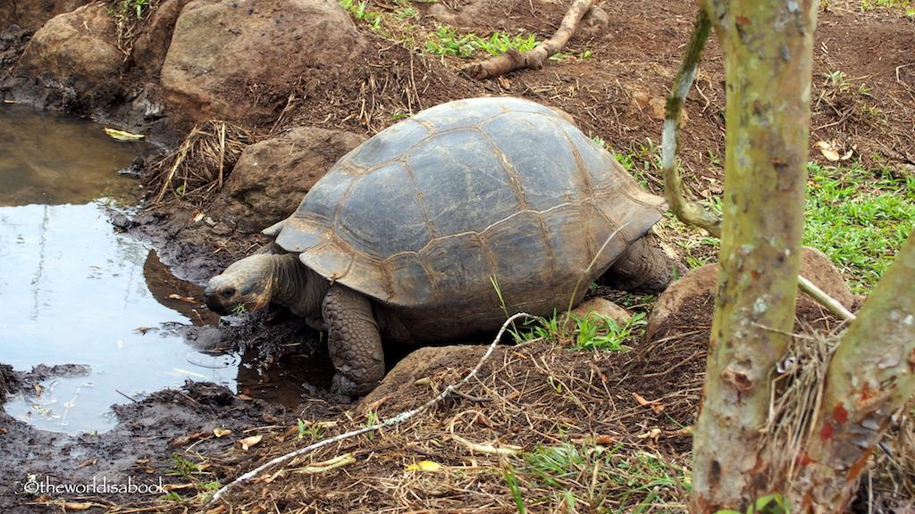 Galapagos giant tortoise sex